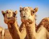 Spin-off VUB haalt 37 miljoen euro op voor radio-immuuntherapie met antilichamen kamelen