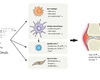 Les effets immunologiques de la vitamine D