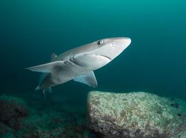 Squalamine, een haaieneiwit tegen de ziekte van Parkinson