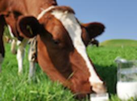 A propos du lait de vache: du brut, sinon rien
