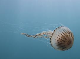La commune de Knokke-Heist met en garde contre les méduses rayonnées