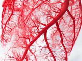Bacterie beperkt risico op cardiovasculaire aandoeningen