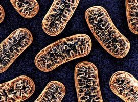 Votre capital santé dépend de l'état de vos mitochondries