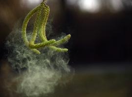 Start van het pollenseizoen, met eerste piek door els en hazelaar
