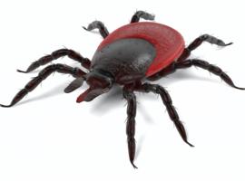 14% des tiques infectées par la bactérie responsable de la maladie de Lyme en Belgique