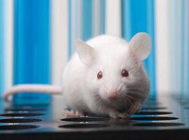Un patch antidiabétique a fait fondre les poignées d'amour chez les souris (Etude)