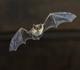 Overdracht vleermuis via ander dier op mens is